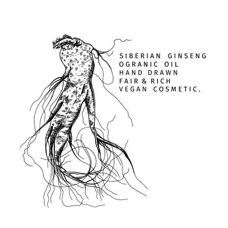 Hand drawn siberian ginseng root. Vector engraved illustration. Spicy rhizhome vegetable. Food ingredient, aromatherapy, cooking. Cosmetic package design, medicinal herb, treating, healthcare.