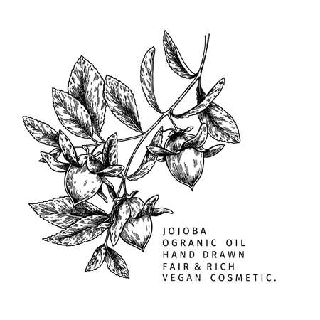 Hand drawn jojoba branch. Vector engraved illustration. Cosmetic and medical essential oil. Food ingredient, healthcare, beauty. For cosmetic package design, medicinal herb, treating, aromatherapy. Ilustração