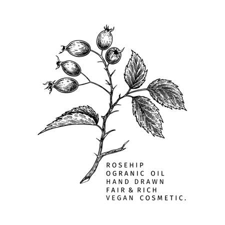 Hand drawn wild rose branch, leaf, flower and berry. Engraved vector illustration. Dog rose, rosehip plant. Summer harvest, jam or marmalade vegan ingredient. Menu, package, cosmetic and food design.