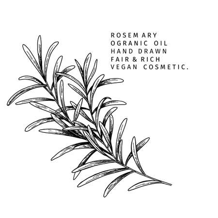 Hand drawn rosemary branch. Vector engraved illustration. Spicy aromatic herb. Food ingredient, aromatherapy, cooking. For cosmetic package design, medicinal plant, treating, healthcare. Ilustração