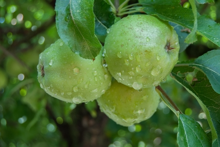 three green apples on the tree branch with drops of rainwater Фото со стока