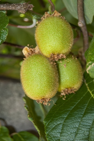 three kiwifruit ripening on the branch of a tree photo