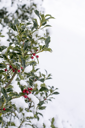 red berries: Close up od a branch of holly with red berries covered with snow