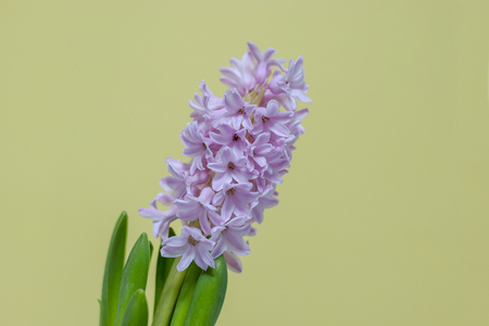 close-up of pink hyacinth flower on yellow background Stok Fotoğraf
