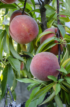 closeup of several ripe peaches on the branch of a tree ready to be harvested