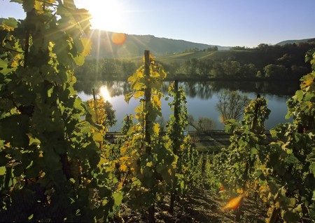 wineyard: Sunshine in a wineyard at a river