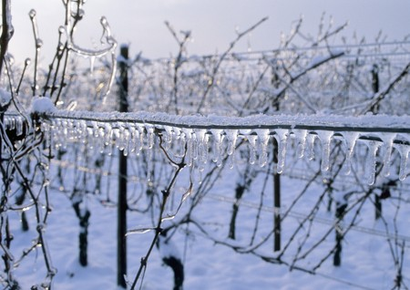 wineyard: wineyard in wintertime with snow and sunreflections Stock Photo