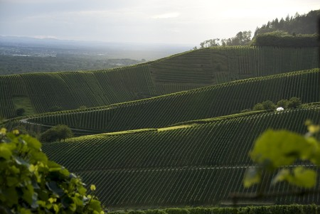 vineyards with trees and a blue sky Stock Photo - 8182304