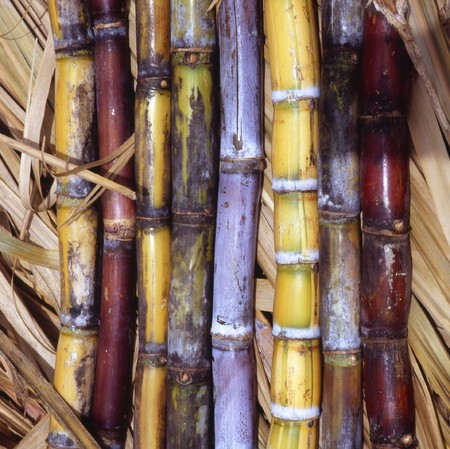 sugar cane farm: Sugar Cane in all colors, red, yellow and purple. Stock Photo