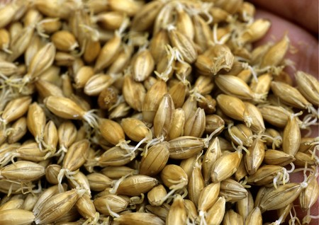 Closeup of malt grain fermenting. Stock Photo - 8192978