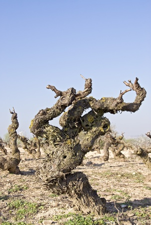 terroir: Vine plant in rioja with view on the terroir