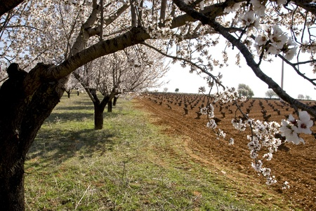 peach trees in rows photo