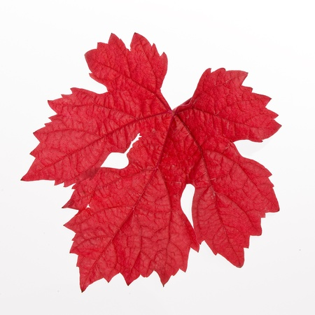 red leaf with a white background