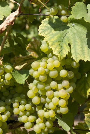 leaves and grapes of white wine photo