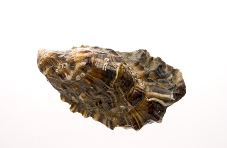 single oyster with white background photo