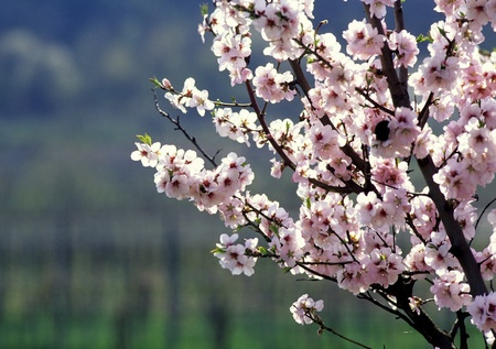 almond blossom with nature background photo