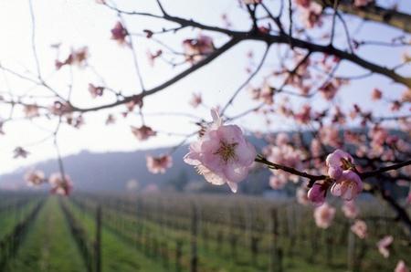 kersen bloesem met een wijn gaard op de achtergrond Stockfoto