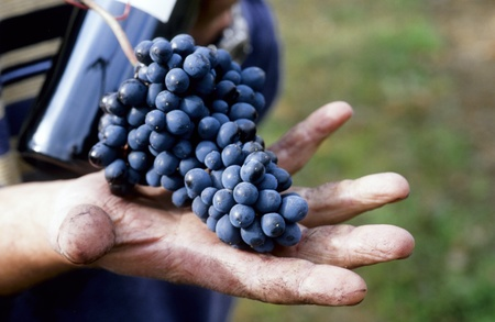 red grapes in mens hand  photo