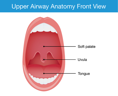 airway: Upper airway human anatomy diagram in top view.