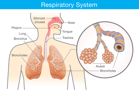 lung bronchus: Respiratory system of human. This illustration about anatomy and physiology.
