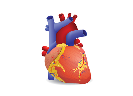 left ventricle: Human heart isolated on white background. This illustration about medical and health care. Illustration