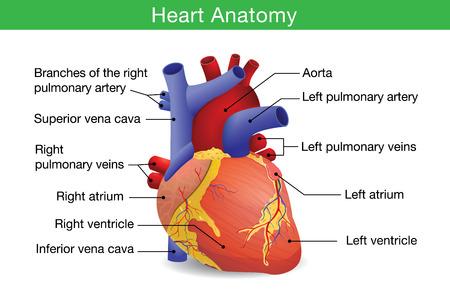 anatomia: Anatomía del corazón humano aislado sobre fondo blanco. Esta ilustración acerca de la atención médica y de salud. Vectores