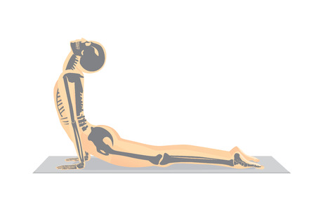Human bone anatomy while Yoga workout in cobra posture. This illustration about medical and sport. Vettoriali