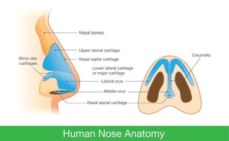 側面図と下の人間の鼻の解剖学.研究・医療のための鼻内のコンポーネントの説明についての図。