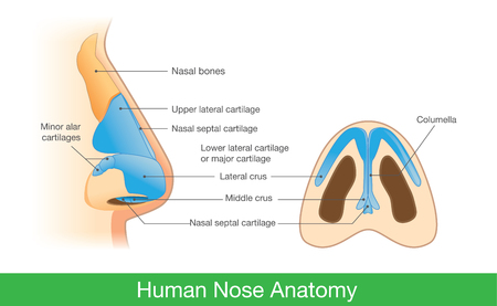 Anatomy of human nose in side view and below. Illustration about description of components in nose for study and medical.