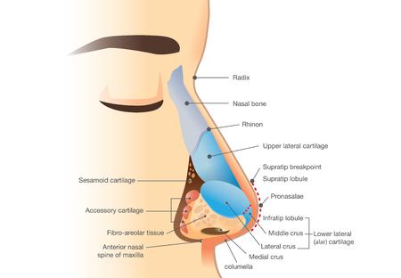 Anatomia do nariz humano. Ilustração sobre a descrição de componentes no nariz para estudo e medicina. Ilustración de vector