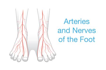 Las arterias y los nervios del pie. Esta ilustración sobre el interior del pie humano
