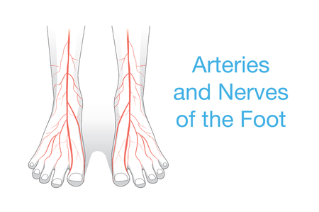 Arteries and nerves of the Foot. This illustration about inner of human foot