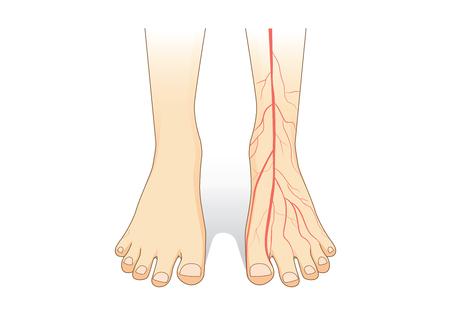 Un pie que muestra un vaso sanguíneo en la piel de color rojo. Esta ilustración sobre el interior del pie humano.