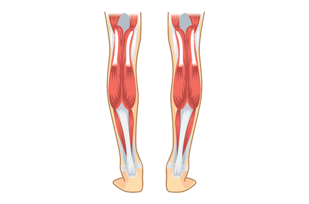 人間のふくらはぎの筋肉。下肢の解剖学についての図。