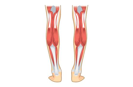 종아리 인간의 근육. 인간의 다리에 대 한 그림 해부학입니다.