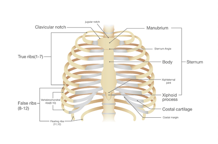 Anatomía de costilla humana. Ilustración del vector de la ciencia y la medicina.