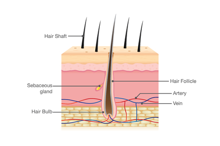 piel humana: Human Hair Anatomy on isolated. Illustration about Physiology.