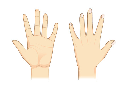 Hand in front and back side on isolated. Illustration about Human body part.