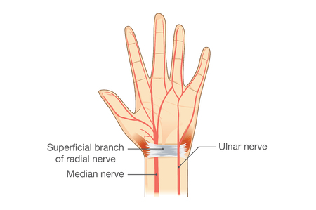 Nerves of the Hand in vector style. illustration about human anatomy.