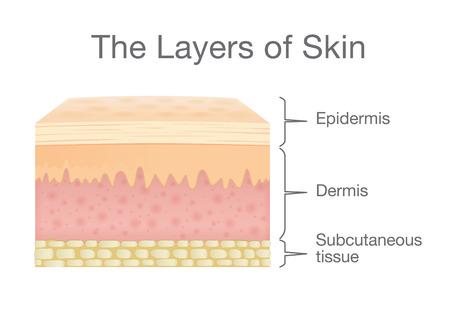 De laag van de menselijke huid in vectorstijl en componenten informatie. Illustratie over medische en gezondheidszorg. Stock Illustratie