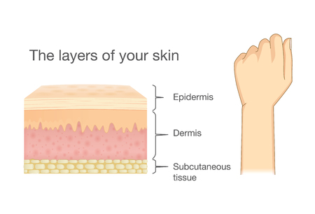 Anatomy of Human Skin layer and arm isolated on white. Ideal for medical Illustration and science.