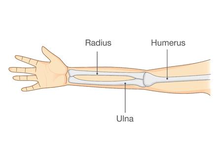 Anatomía del hueso normal del brazo. Ilustración sobre la parte del cuerpo humano en el estilo del vector.