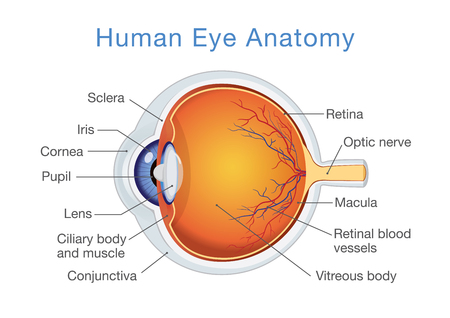 explained: Components of human eye illustration about Anatomy and Physiology.