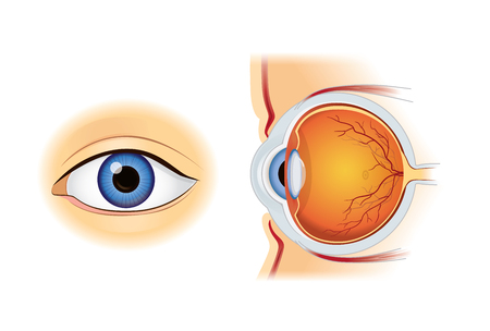 Human eye anatomy in inside and out side view isolated on white. Illustration about medical and science. Illustration