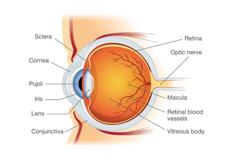 Human Eye Anatomy In Side View Illustration About Medical And