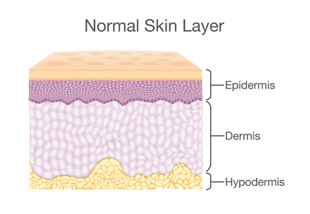 Layer of Healthy Human Skin in vector style and components information. Illustration about medical diagram.