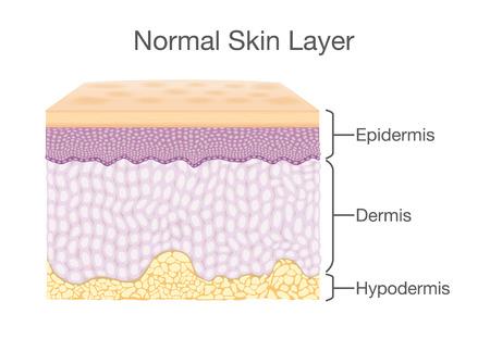 Schicht gesunde menschliche Haut in den Vektorart- und -komponenteinformationen. Illustration über medizinisches Diagramm.