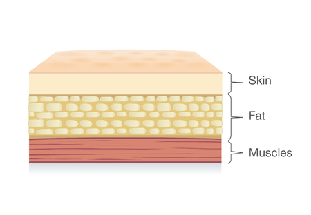 Anatomy Of Skin Layer Fat Cell And Muscle Layer In Vector Style