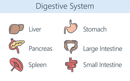 wastes: Human Internal organ about digestive system. Illustration about health and medical. Illustration