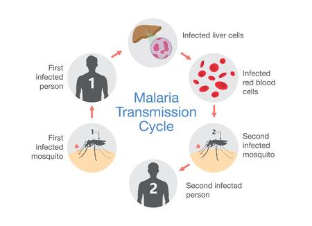 Illustratie die de cyclus van de Malariaoverdracht toont. Stap van infecties bij mensen met muggen.